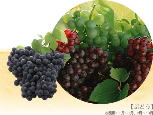 【ぶどう】収穫期:1月~3月、8月~10月